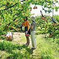 日本岡山赤盤市 桃茂實苑 白桃水蜜桃麝香葡萄吃到飽 冰淇淋