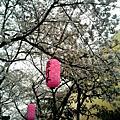 大阪的櫻花
