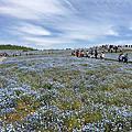 日立海洋公園~粉蝶花