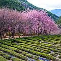 2014武陵櫻花季