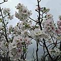 陽明山花季103