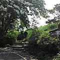 龍潭三和油桐花季
