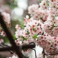 2010天元宮 櫻花