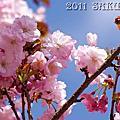 2011阿里山櫻花