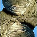 4.軟體動物:雙殼綱