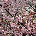 2012-3-15天元宮、東方寺櫻花