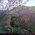 20130217陽明山+竹子湖海芋田