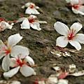 太平的油桐花