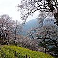 2013-02-24_(高知)ひょうたん桜楽園