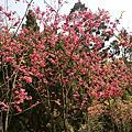 2011陽明山花季
