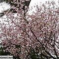 100.03.17~天元宮賞櫻-最後的櫻花.