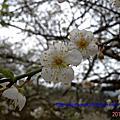 20120113烏松崙賞梅
