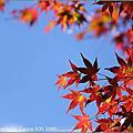 *2009  走進紅葉的國度 - 福壽山農場*