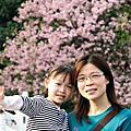 淡水天元宮的櫻花