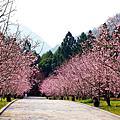 2020九族櫻花季