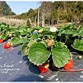 2015耀婆山草莓園
