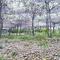 淡水紫藤花咖啡館