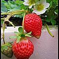 20140213 大湖採草莓 南投賞花燈