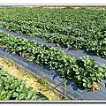 ☆新竹 關西採草莓