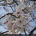 阿里山櫻花季98.3.16