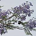 浪漫的紫色藍花楹