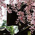 2012東本櫻之戀-4/29