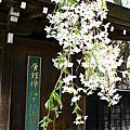 2012東本櫻之戀-5/1