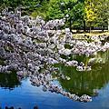 2016春 桜の足跡在奈良