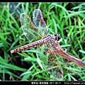 蜻蛉目-褐斑蜻蜓
