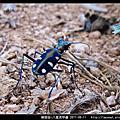 鞘翅目-八星虎甲蟲