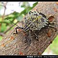 半翅目-黃斑椿象
