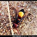 膜翅目-黃腰虎頭蜂