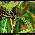 蜻蛉目-彩裳蜻蜓