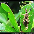 半翅目-輪刺獵椿象