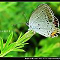 鱗翅目-白尾小灰蝶