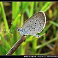 鱗翅目-折列藍灰蝶