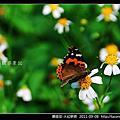 鱗翅目-大紅蛺蝶