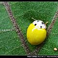 鞘翅目-黃瓢蟲