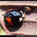 鞘翅目-錨紋瓢蟲