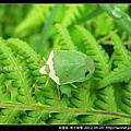 半翅目-南方綠椿