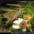 鱗翅目-禾弄蝶