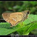 鱗翅目-單帶弄蝶