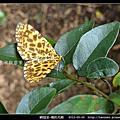 鱗翅目-褐豹尺蛾