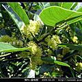 樟科-潺槁樹
