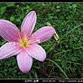 石蒜科-韭蘭