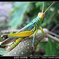 直翅目-斑角蔗蝗