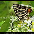 鱗翅目-台灣雙尾燕蝶