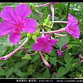 紫茉莉科-紫茉莉