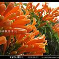 紫葳科-爆杖花