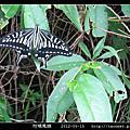 鱗翅目-柑橘鳳蝶